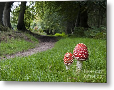 Fly Agaric Mushrooms Metal Print by Tim Gainey