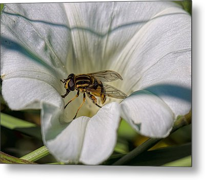 Metal Print featuring the photograph Fly In White Flower by Leif Sohlman