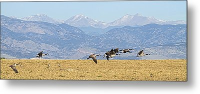 Flying Canadian Geese Rocky Mountains Panorama 2 Metal Print by James BO  Insogna