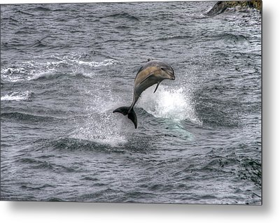 Flying Dolphin Metal Print by David Yack