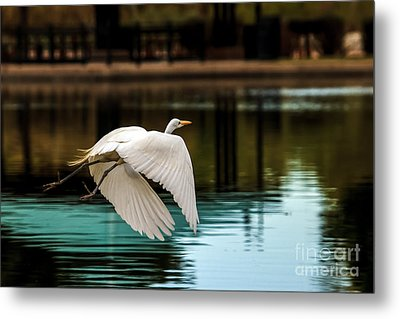 Flying Egret Metal Print by Robert Bales