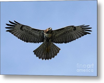 Flying Free - Red-tailed Hawk Metal Print