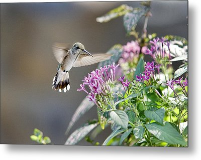 Flying In For A Morning Meal Metal Print by Robert Camp