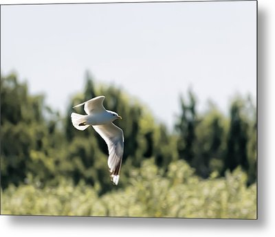 Metal Print featuring the photograph Flying Seagull by Leif Sohlman