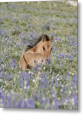 Foal In The Lupine Metal Print by Carol Walker