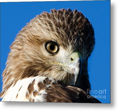 Hawk Eye Metal Print by Stephen Flint