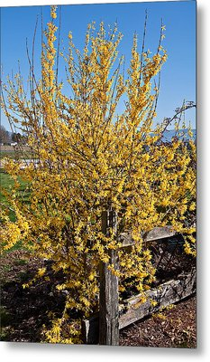 Forsythia bush in bloom photograph by valerie garner - Valerie garnering ...