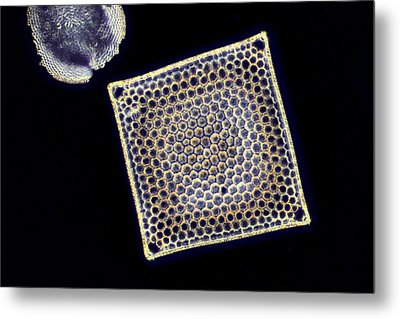 Fossil Diatom, Light Micrograph Metal Print by Science Photo Library