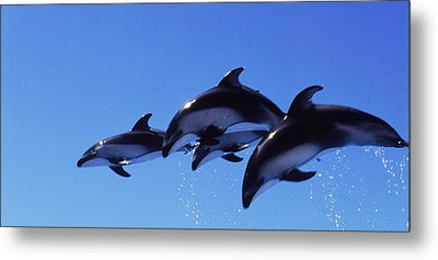 Four Bottle-nosed Dolphins Tursiops Metal Print by Panoramic Images