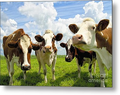 Four Chatting Cows Metal Print
