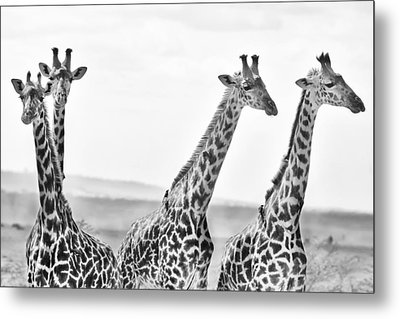 Four Giraffes Metal Print by Adam Romanowicz