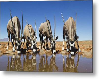 Four Oryx Drinking Namibrand Nature Metal Print by Theo Allofs