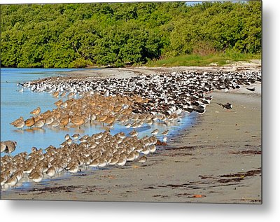 Metal Print featuring the photograph Four Species Of Birds At Roost On Tampa Bay Beach by Jeff at JSJ Photography