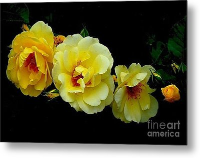 Four Stages Of Bloom Of A Yellow Rose Metal Print