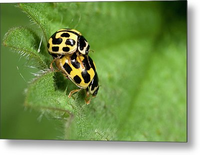 Fourteen-spot Ladybirds Metal Print