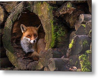 Fox Metal Print by Cees Van Ginkel