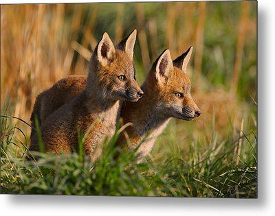 Fox Cubs At Sunrise Metal Print