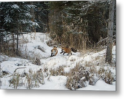 Fox Hollow Metal Print by Jack Bell
