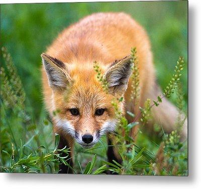 Fox Kit Hiding In The Grass Metal Print by Merle Ann Loman