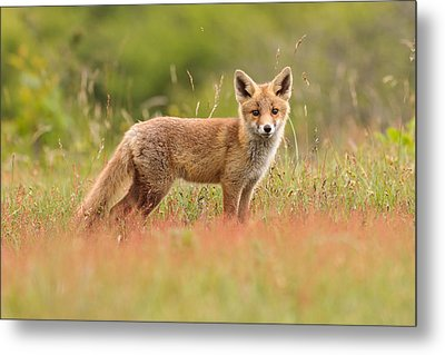Fox Kit In A Field Of Sorrel Metal Print by Roeselien Raimond