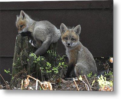 Fox Kit Siblings Metal Print by RJ Martens