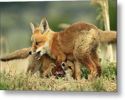 Fox Kits Metal Print