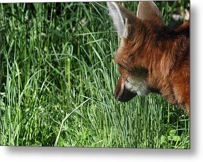 Fox - National Zoo - 011310 Metal Print by DC Photographer