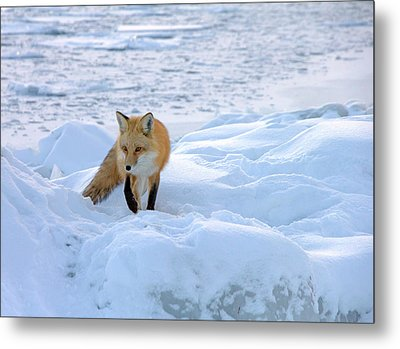 Fox Of The North II Metal Print
