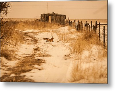 Fox On The Run Metal Print by Shirley Heier