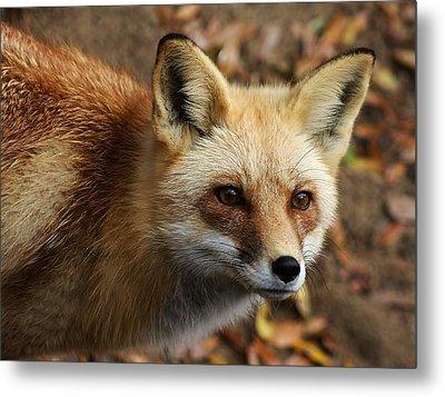 Fox Metal Print by Paulette Thomas
