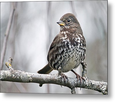 Metal Print featuring the photograph Fox Sparrow by Inge Riis McDonald