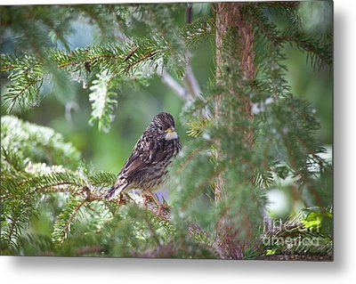 Fox Sparrow Juvenile Metal Print by Chris Heitstuman
