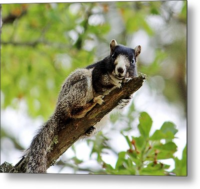 Fox Squirrel Metal Print by Cynthia Guinn