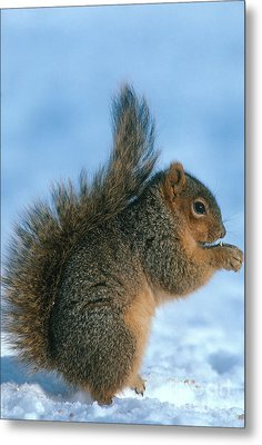 Fox Squirrel Metal Print
