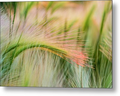 Foxtail Barley Near Regent, North Metal Print by Chuck Haney