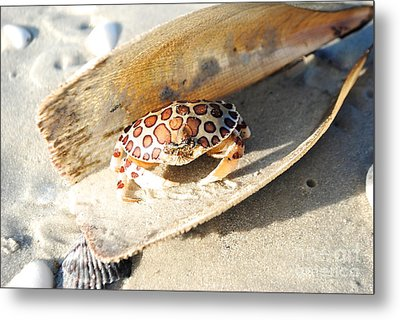 Frank The Spotted Crab Of Anna Maria Metal Print