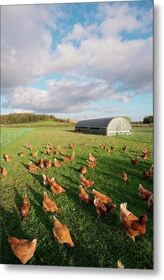 Free Range Chickens Metal Print by Dr. John Brackenbury