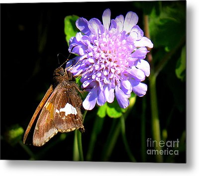 Silver Spotted Skipper Metal Print by Patti Whitten