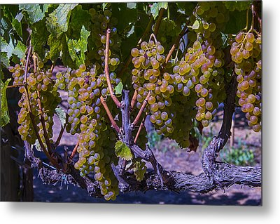 French Colombard Wine Grapes Metal Print