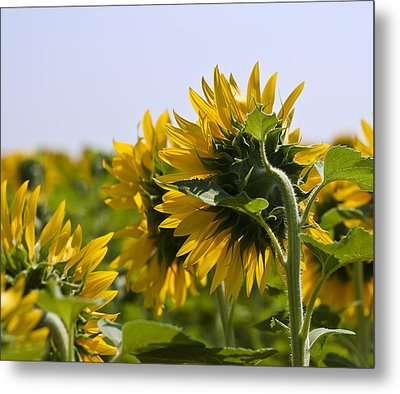 French Sunflowers Metal Print by Georgia Fowler