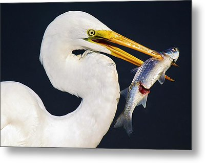 Fresh Catch Of The Day Metal Print by Paulette Thomas
