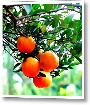 Fresh Orange On Plant Metal Print by Lanjee Chee