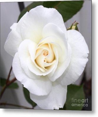 Fresh White Rosebud Metal Print by French Toast