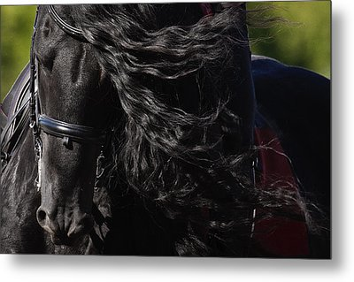 Friesian Beauty Metal Print by Wes and Dotty Weber