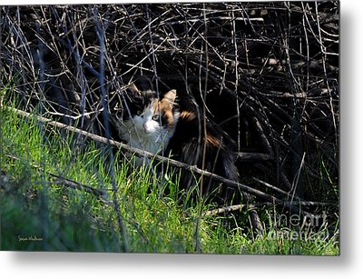 Frightened Feral Calico  Metal Print
