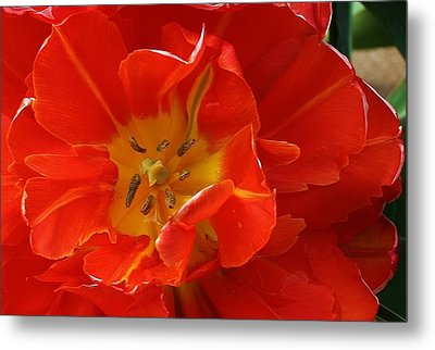 Frilly Tulip Metal Print by Bruce Bley