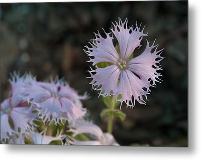 Metal Print featuring the photograph Fringed Catchfly by Paul Rebmann