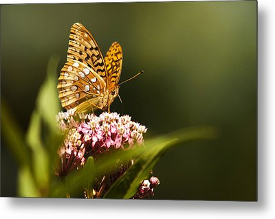 Fritillary Butterfly On Pink Milkweed Flower Metal Print by Christina Rollo