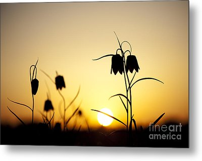 Fritillary Flower Sunset Metal Print