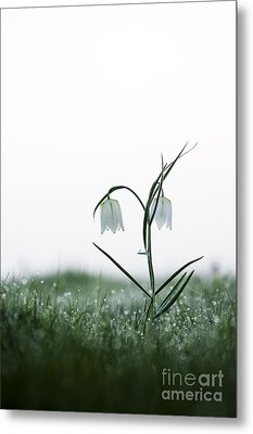 Fritillary In The Mist Metal Print